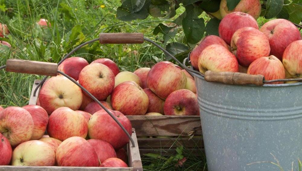 Za obiranje in redčenje jabolk na Štajerskem že iščejo prve sezonske delavce