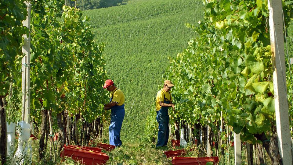 Inšpektorji med trgatvijo lovijo vinogradnike, ki grozdje prodajajo na črno