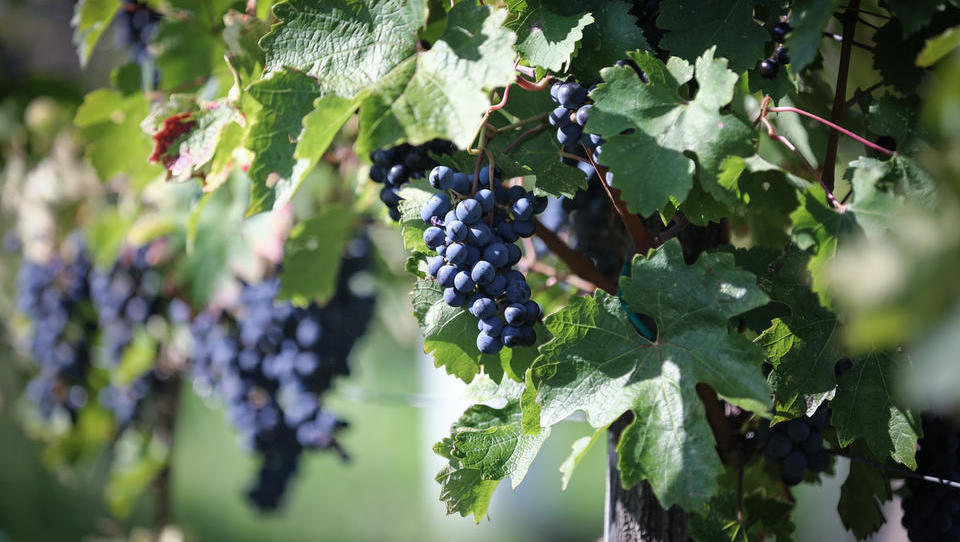 Pred trgatvijo je Klet Brda posodobila opremo za prevzem grozdja